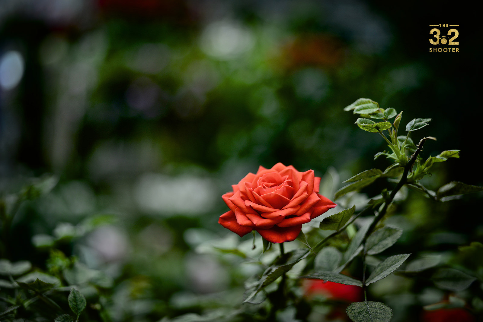 Vermillion Rose